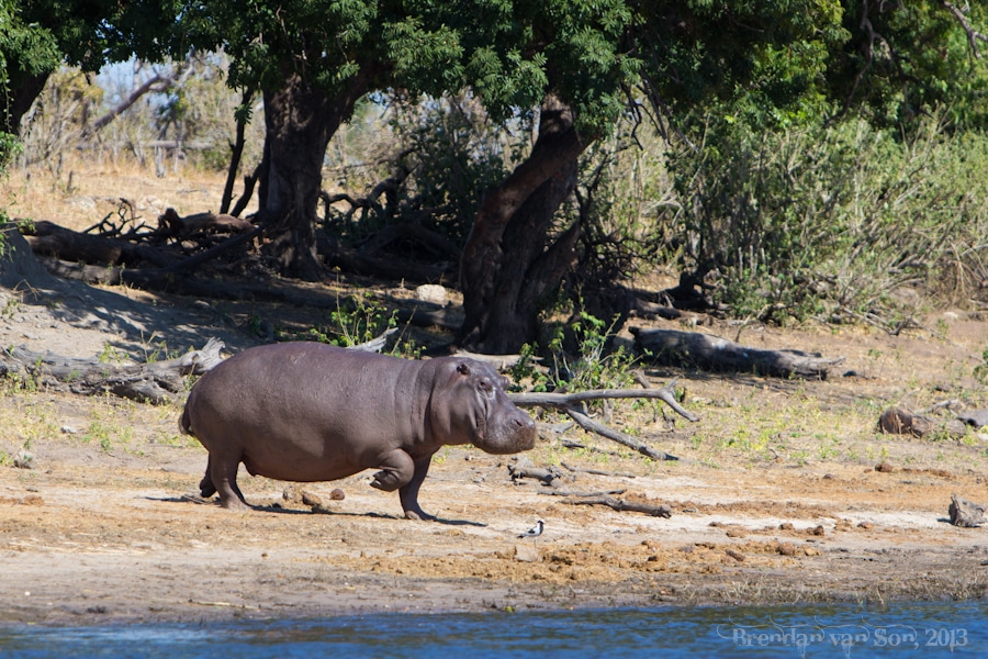 Hippo, Chobe National Park