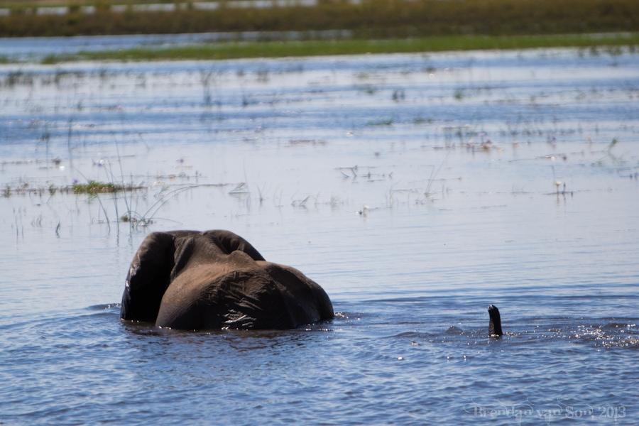 Baby elephant Chobe National Park