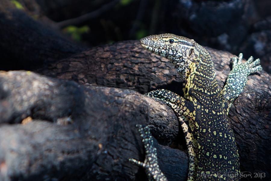 Monitor Lizard, Chobe National Park