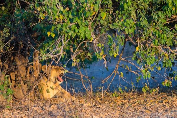 Lioness, Chobe