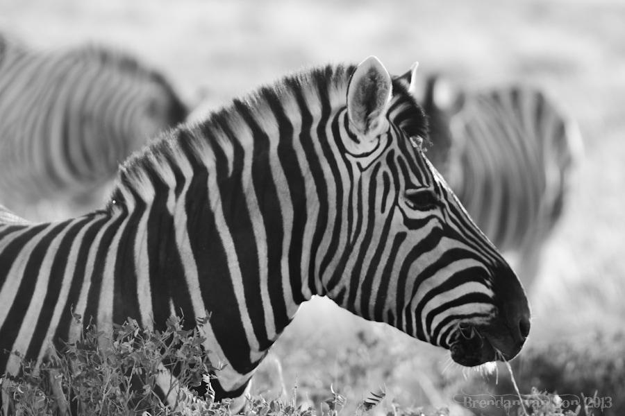 Etosha National Park, zebra