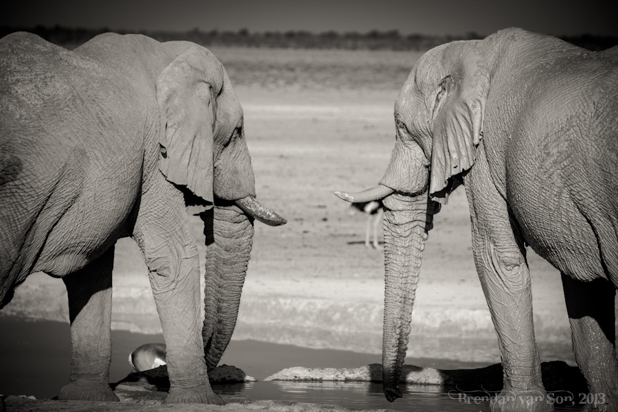 A couple of old male Elephants come together at a waterhole in Etosha National Park