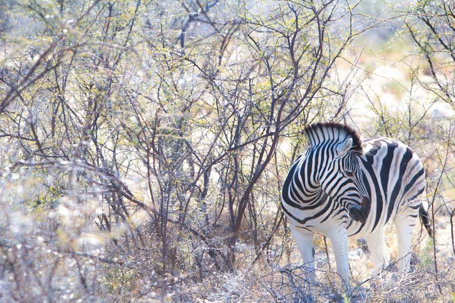 Zebra at sunrise in Etosha National Park