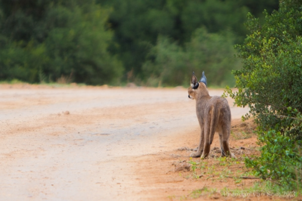 Addo National Elephant Park, caracal