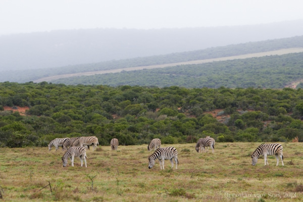 Addo National Elephant Park, Zebra