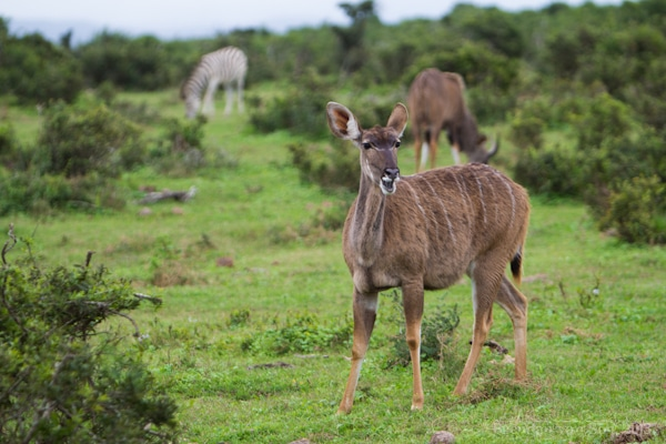 Addo National Elephant Park, kudu