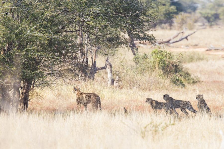 Kruger National Park, Cheetah