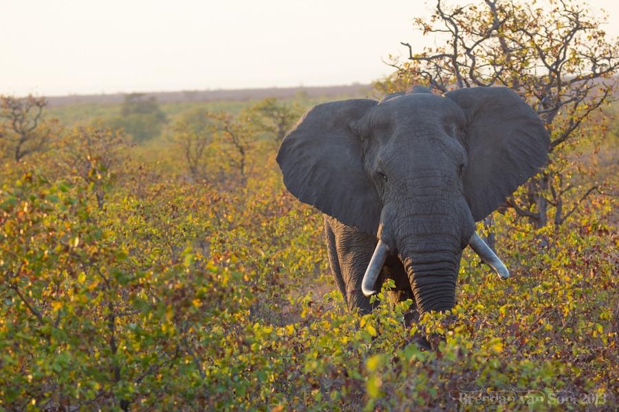 Kruger National Park, Elephant