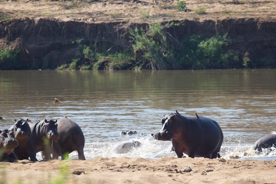 Kruger National Park, Hippo