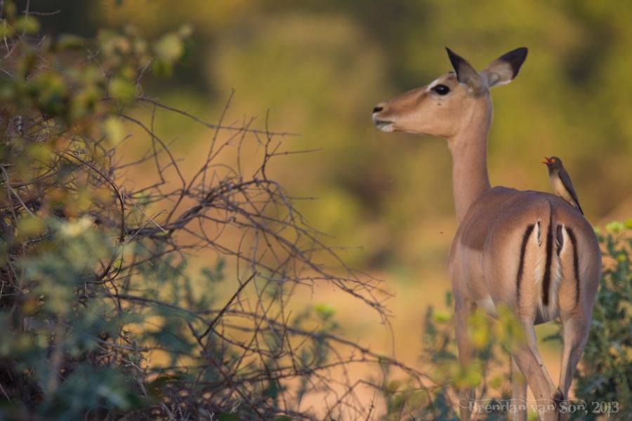 Kruger National Park, Impala