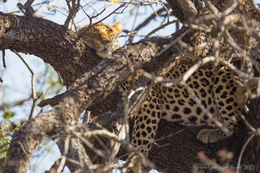 Kruger National Park, Leopard