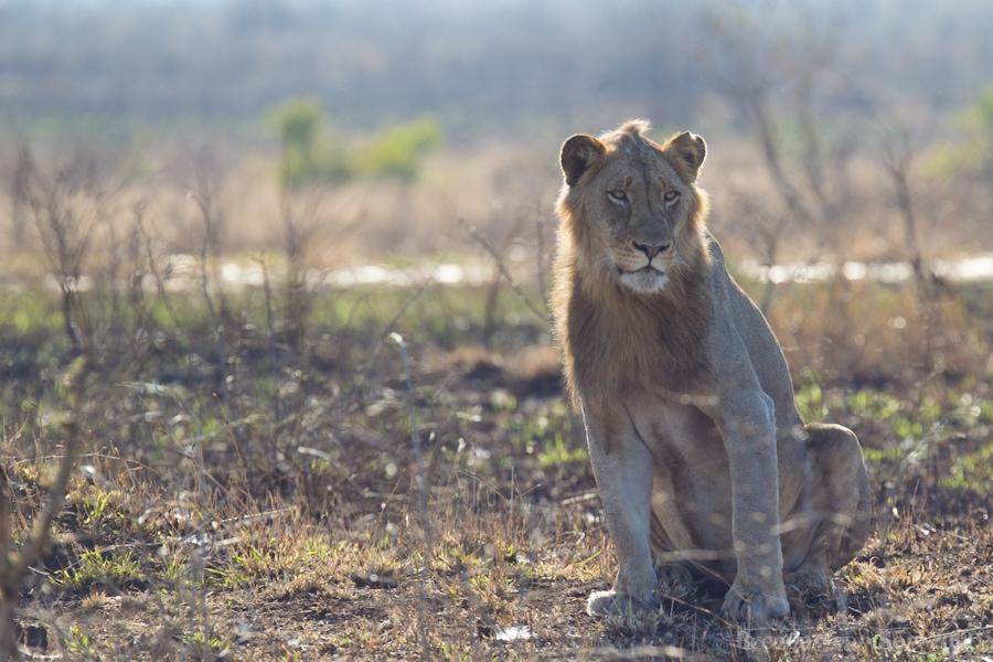 Kruger National Park, Lion