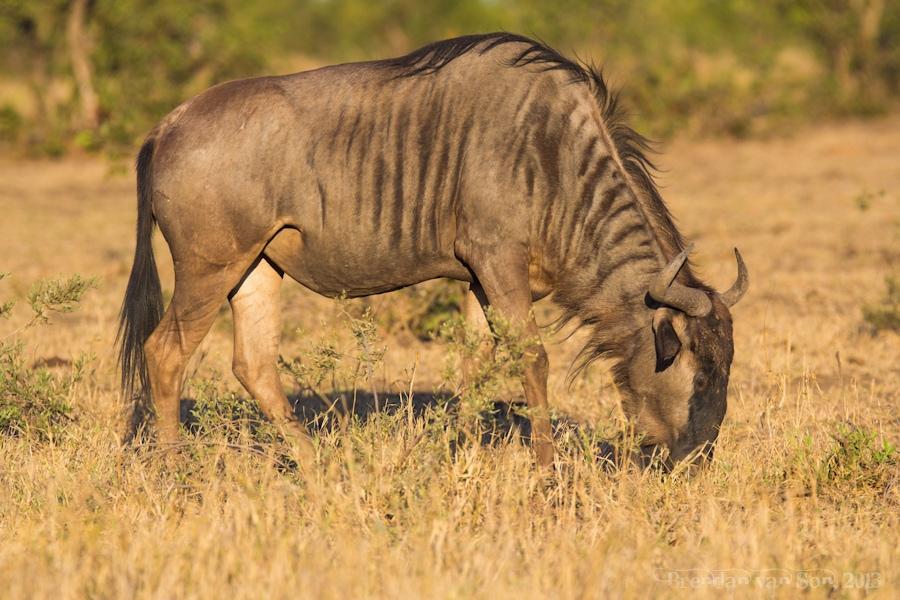 Kruger National Park, Wildebeest