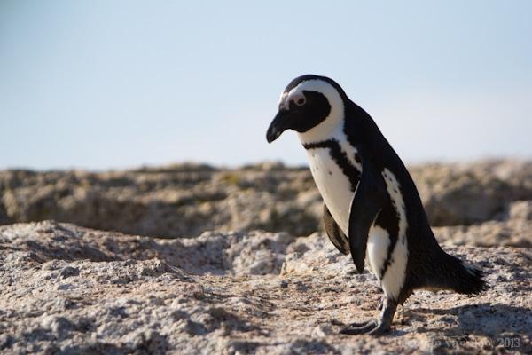 cape point penguin