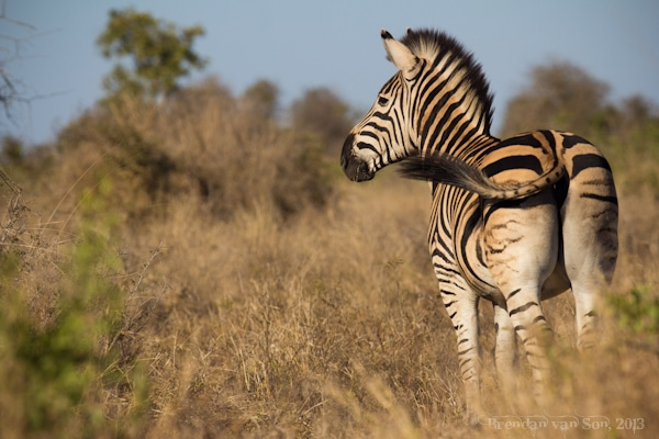 Kruger National Park, zebra