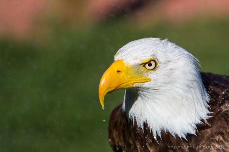 Bald Eagle, Alberta