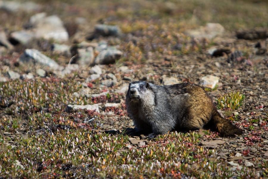 Marmot, Skyline Trail, Jasper