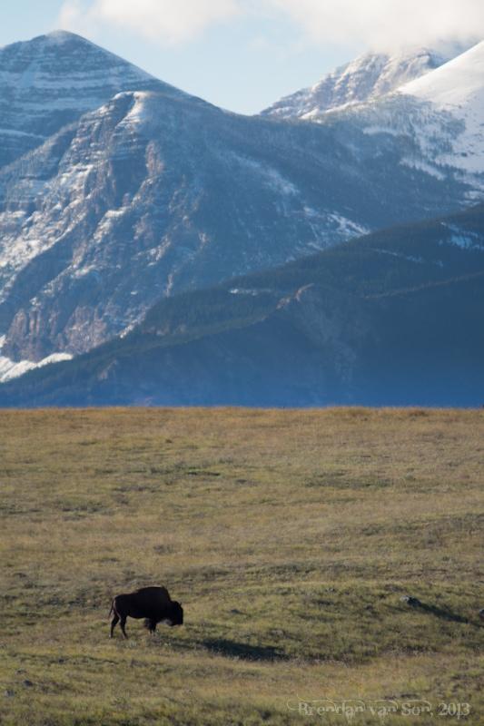 buffalo, Waterton National Park