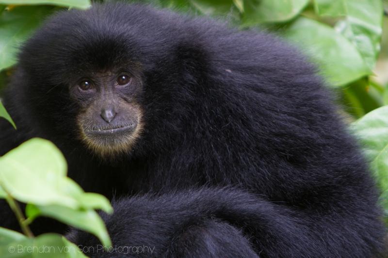 Singapore Zoo, monkey