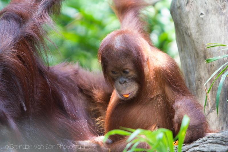 Singapore Zoo, orangutan baby