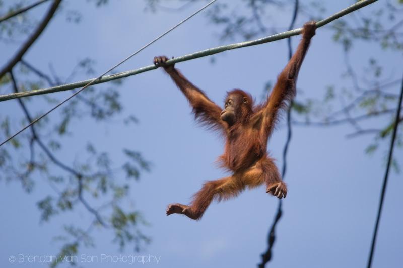 Singapore Zoo, orangutan