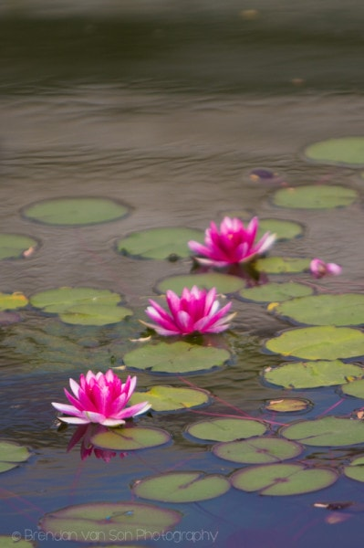 Changsha Lotus Flowers