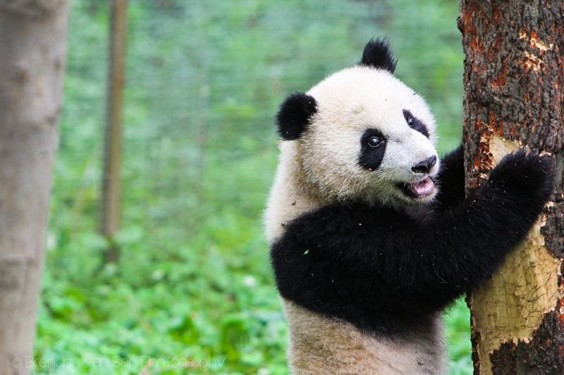 Panda Bear, Bifengxia, China