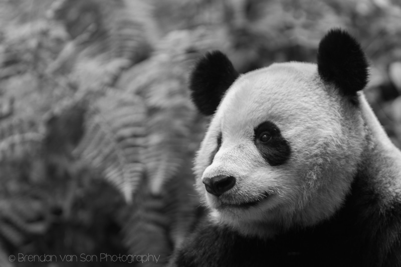 Panda Bear, Bifengxia, China