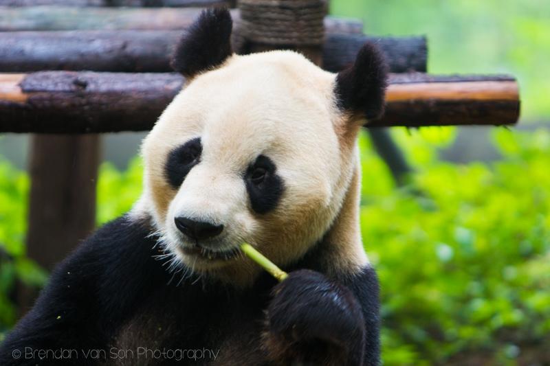 Giant Panda, Chengdu, China