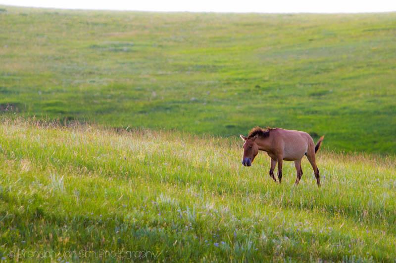 Wild horse Mongolia