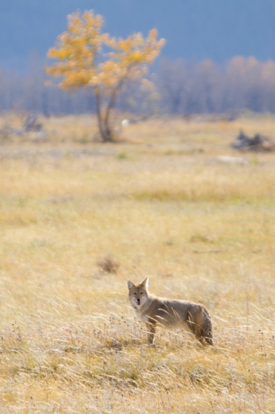 Coyote, Waterton Lakes National Park
