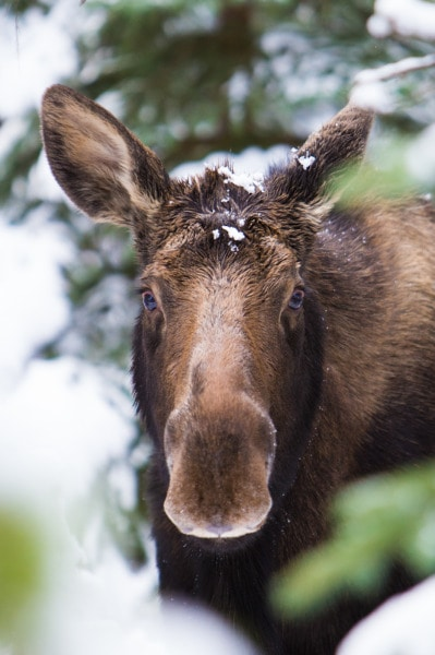 Jasper Moose