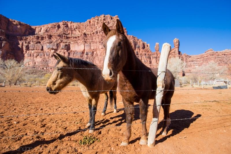 Horses in Supai