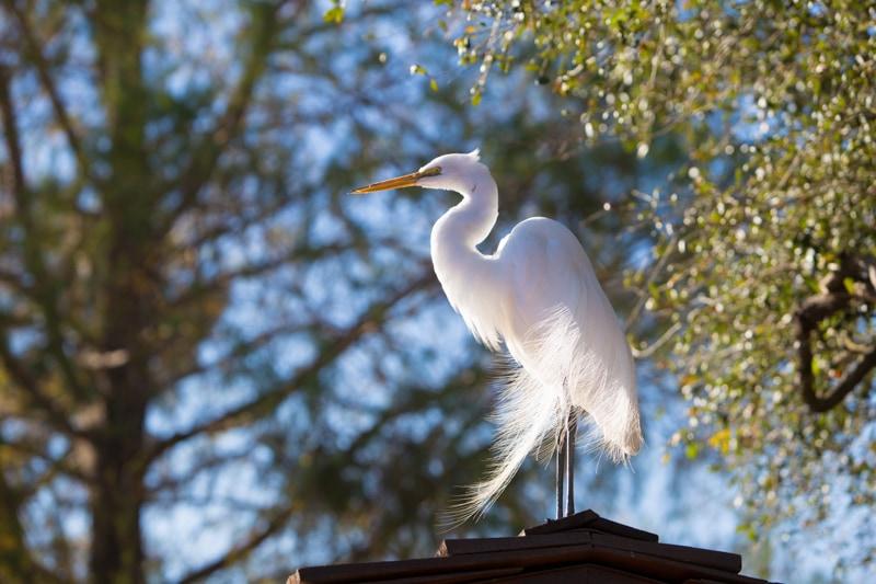 Egret, Disney World