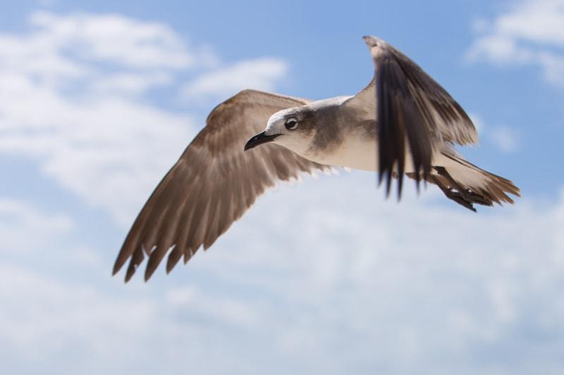 Pigeon, Florida Keys