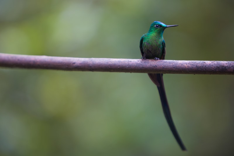 hummingbird, Salento, Colombia