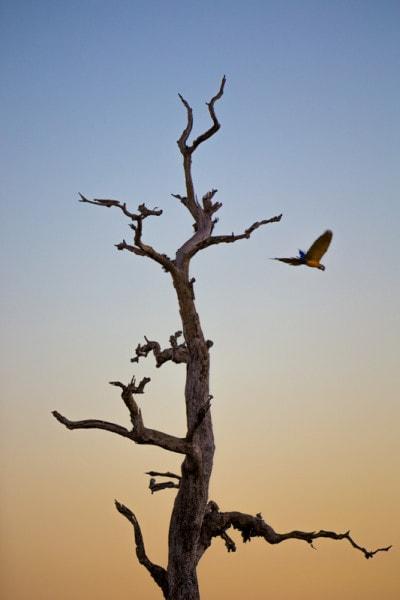 Macaw, The Pantanal