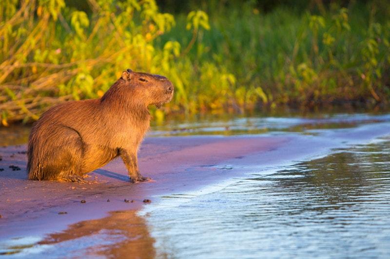 Capybara, The Pantanal