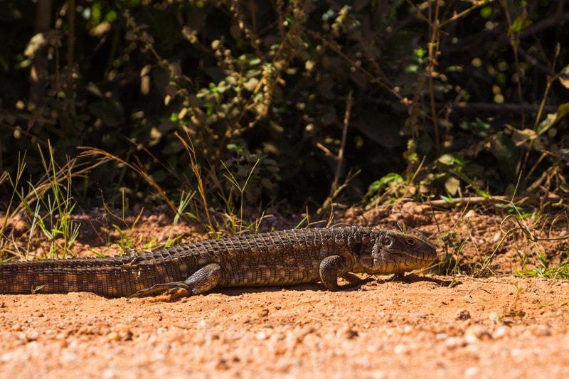 A Caiman Lizard