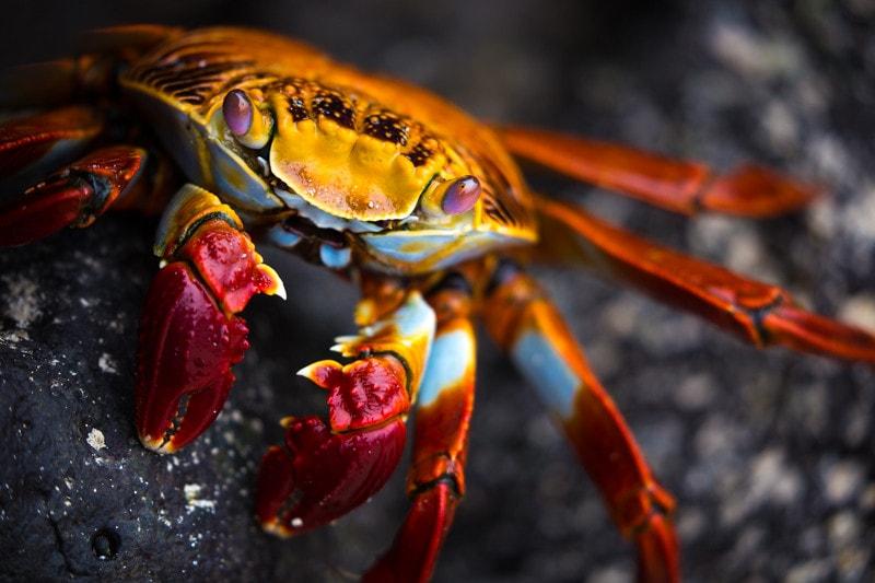 endemic crab