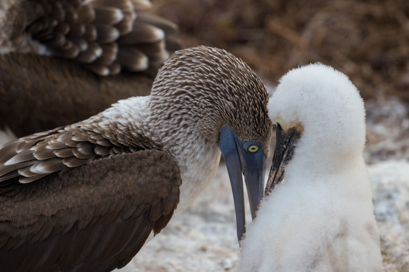 North Seymour Island, Galapagos Islands