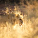 The Best Place in Africa to See Lions: Kgalagadi Transfrontier Park