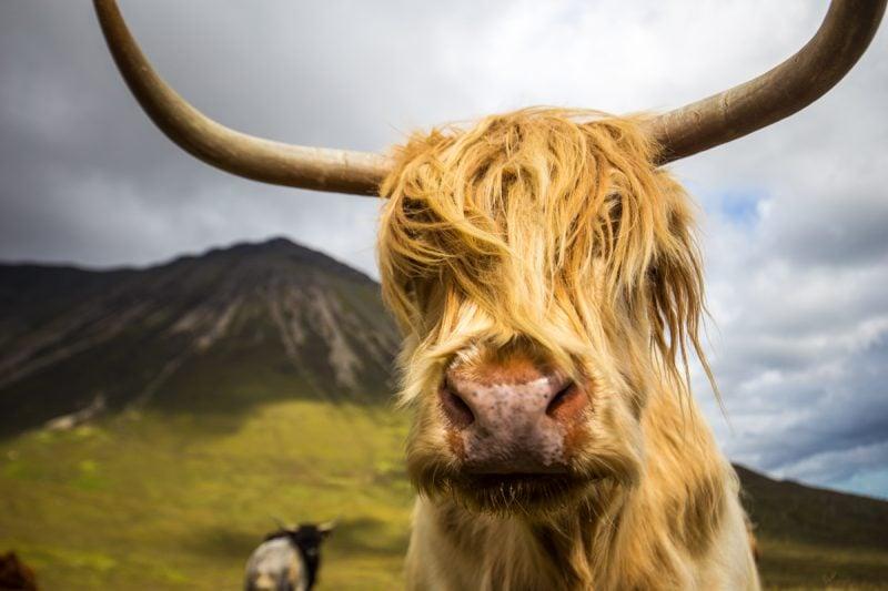 Highland Cows, Isle of Skye