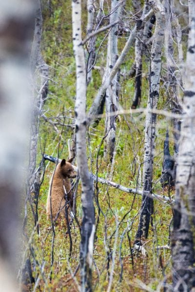cinnamon bear in the forest