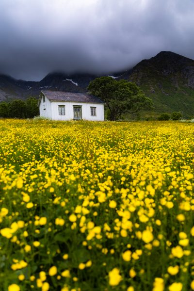 A cabin in Lofoten Norway surrounded by buttercup