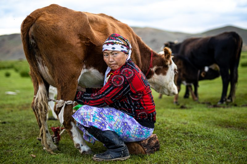 A nomad milking her cows