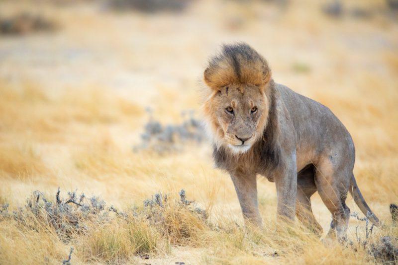 Lion Namibia