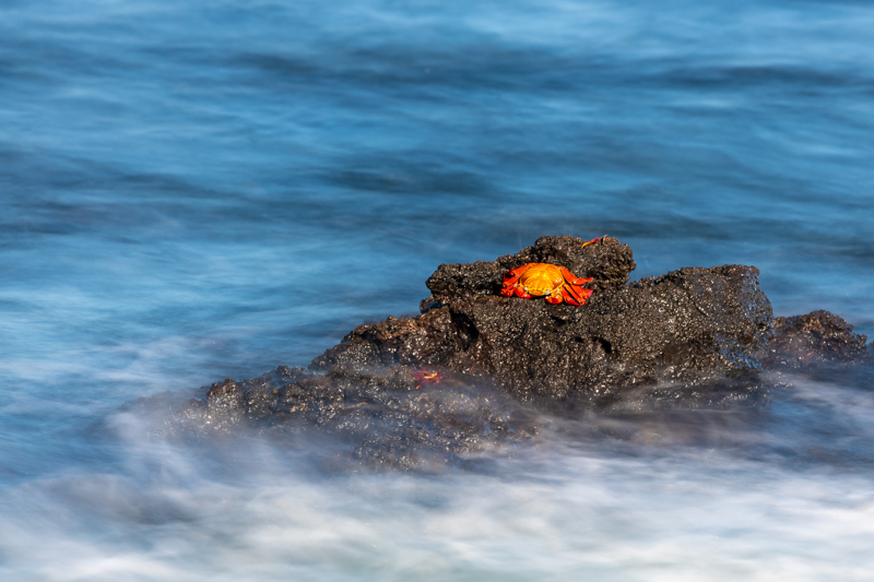 sally lightfoot crab on rocks