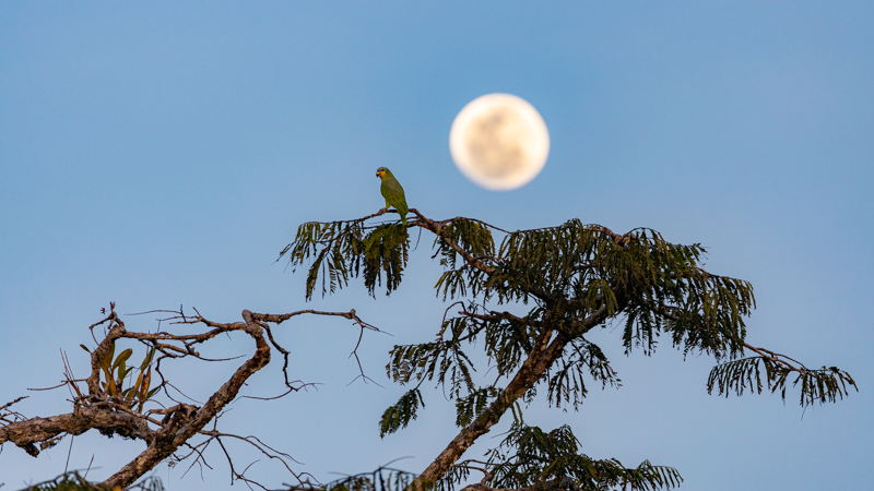 Parrot against a moonrise in the amazon