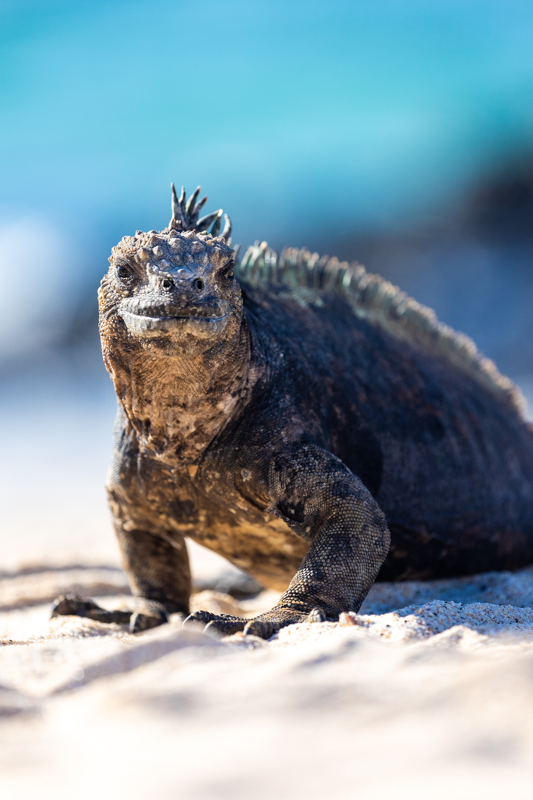 A Marine Iguana on the beach in the Galapagos islands